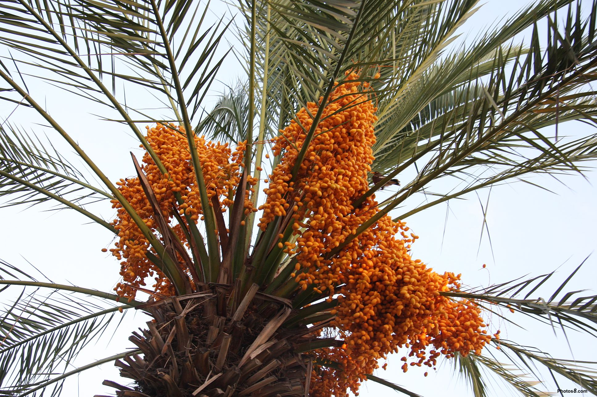 Dates fruit tree benefits